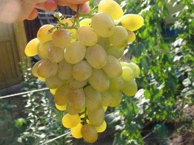 Лук севок, виноград, пионы.Распродажа!!! В наличии. — Сверхранний — Плодово-ягодные
