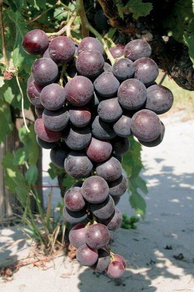 Лук севок, виноград, пионы.Распродажа!!! В наличии. — Ранний — Плодово-ягодные