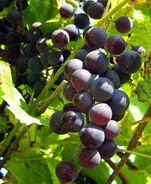 Виноград сорт Ласточка