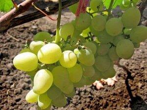 Виноград сорт Августовский