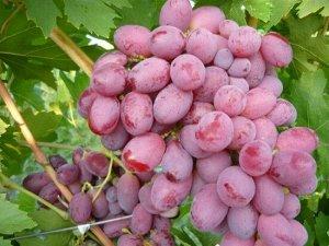 Виноград сорт Подарок Ирине
