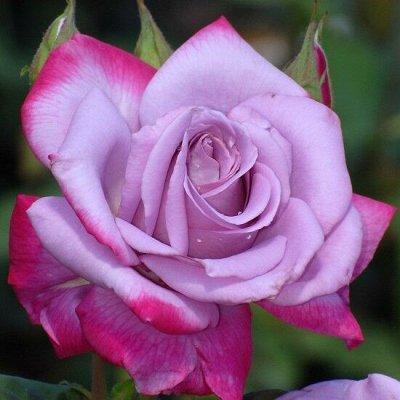 🌹 Канадские Розы Голландской селекции — Весна 2022 — Парковые Розы и Шрабы * Зимостойкие