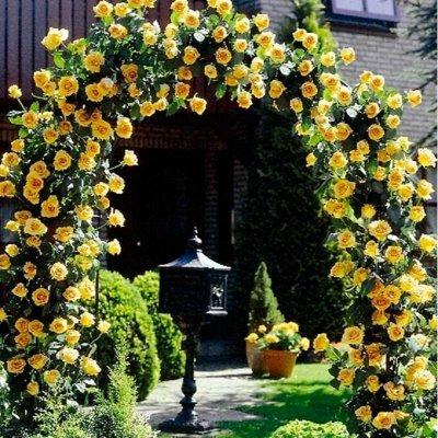 Розы (посадка Весной) Польша *Оплата 50/50 — Плетистые — Декоративноцветущие