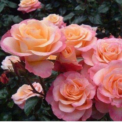 Розы (посадка Весной) Польша *Оплата 50/50 — Роза Флорибунда — Декоративноцветущие