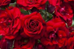 Роза Лаваглют