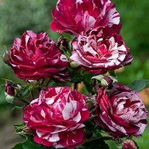 Роза Нью Имейжн