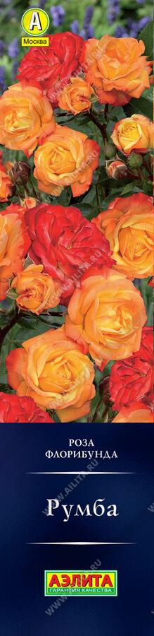Роза Румба Яркая флорибунда с изменчивой окраской. Махровые цветки, раскрывшись, желтые, со временем края лепестков становятся ярко-алыми, а затем малиновыми. Цветение очень обильное, в течение всего