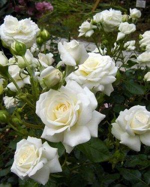 Роза Тиара Белоснежные махровые цветки имеют практически идеальную благородную форму, и великолепно подходят для срезки. Аромат умеренный. Высота растения 70-90 см.