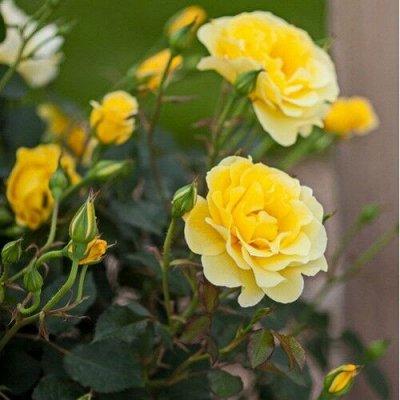 Розы (посадка Весной) Польша *Оплата 50/50 — Почвопокровные Розы — Декоративноцветущие
