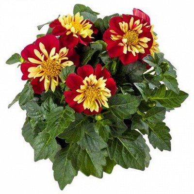 Крутые многолетние и однолетние черенки! Зимостойкий седум — Цветы свободное — Декоративноцветущие