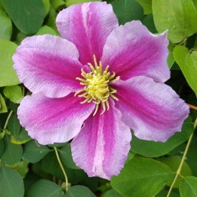 Гладиолусы,георгины,лилии и клематисы.Предзаказ.Весна. — Клематисы — Декоративноцветущие