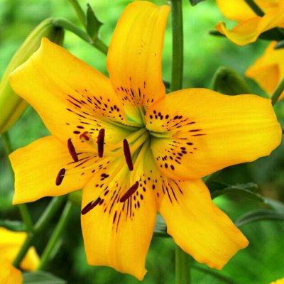 Гладиолусы,георгины,лилии и клематисы.Предзаказ.Весна. — Лилия тигровая — Декоративноцветущие