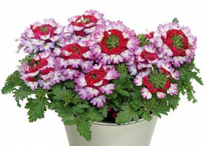 Многолетние и однолетние черенки! Тюльпановидная пеларгония — Цветы свободное — Декоративноцветущие