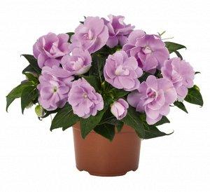 Бальзамин н.г. Wild Romance Lavender