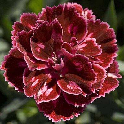 Крутые многолетние и однолетние черенки! Красавицы Петунии — Цветы свободное — Декоративноцветущие