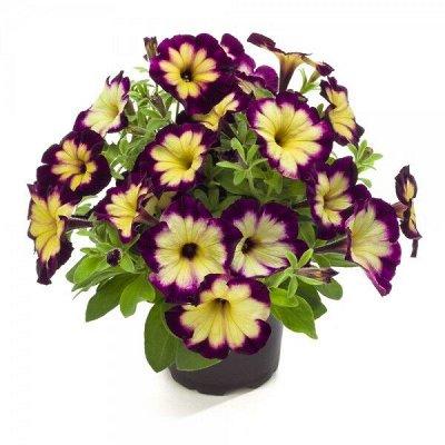 Крутые многолетние и однолетние черенки! Предзаказ Весна — Любимые петунии — Декоративноцветущие