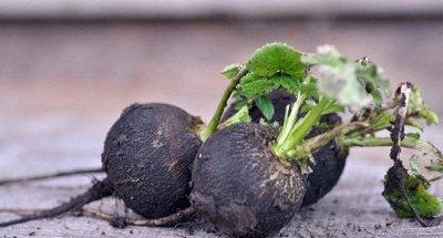 Семена Аltая Цена за 2 пачки — Редька — Семена овощей