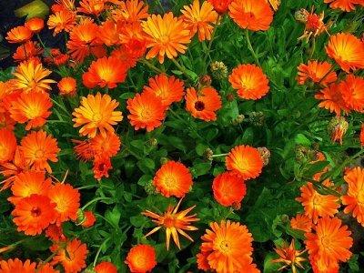 Семена Аltая Цена за 2 пачки — Календула — Семена однолетние