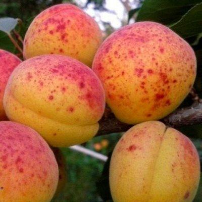 Отечественная плодовка  - весна 2021 — Абрикос, слива, вишня — Плодово-ягодные
