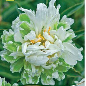 Пионы и Лилии (Голландия) на Весну* Оплата 50/50 — Пионы * Травянистые — Декоративноцветущие