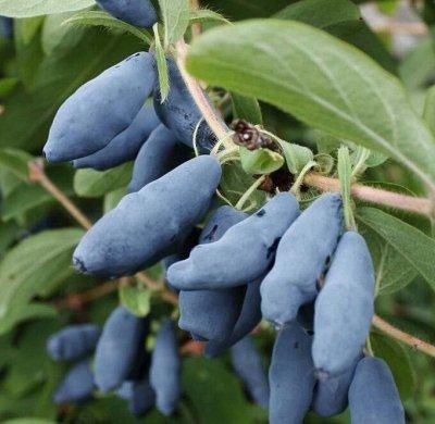 Отечественная плодовка  - весна 2021 — Малина, жимолость, смородина, крыжовник — Плодово-ягодные