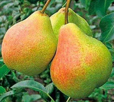 Отечественная плодовка на весну 2022 — Яблони и груши