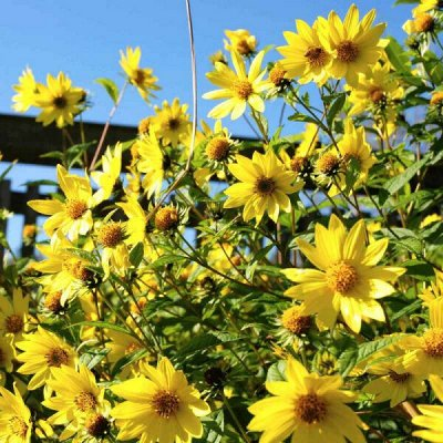 Пионы и многолетники на весну. Оплата 50% сейчас,50 позже — Гелиантус (Подсолнечник) — Декоративноцветущие