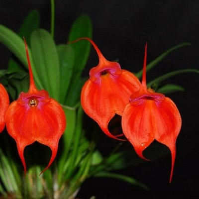 Цветочная - цветущие цикламены - 280 р — Орхидеи Масдеваллии — Декоративноцветущие