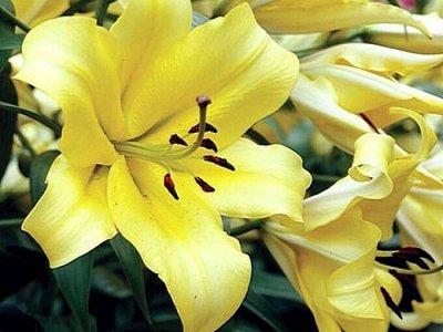 Пионы и Лилии (Голландия) на Весну* Оплата 50/50 — Лилии * ОТ гибриды — Декоративноцветущие