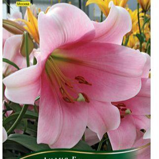 Пионы и Лилии (Голландия) на Весну* Оплата 50/50 — лилии * Длинноцветковые — Декоративноцветущие