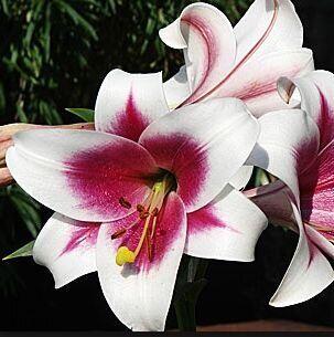 Пионы и Лилии (Голландия) на Весну* Оплата 50/50 — Лилии * ЛО гибриды — Декоративноцветущие