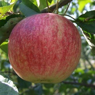 Саженцы плодовые, декорат, гортензии - все в наличии!  — Яблони — Плодово-ягодные