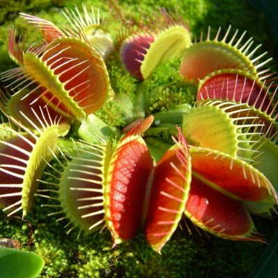 Цветочная - много новинок😍    — плотоядные растения — Декоративнолистные
