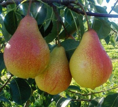 Саженцы плодовые, декорат, гортензии - все в наличии!  — Груши — Плодово-ягодные