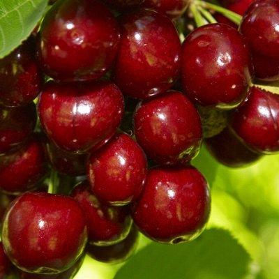 Саженцы плодовые, декорат, гортензии - все в наличии!  — Черешня — Плодово-ягодные