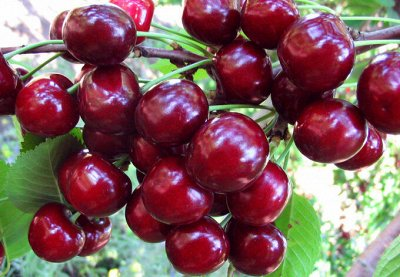 Саженцы плодовые, декорат, гортензии - все в наличии!  — Вишня — Плодово-ягодные