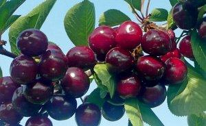 Чудо вишня Сладкий вкус плодов достался Чуду от черешни. Ценится эта культура и за устойчивость к наиболее опасным вишнёвым заболеваниям — монилиозу и коккомикозу. Сорт Чудо от вишни унаследовал мороз