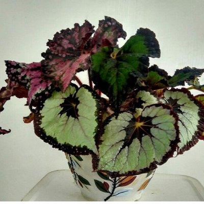 Цветочная - цветущие цикламены - 280 р — сортовые бегонии — Декоративнолистные