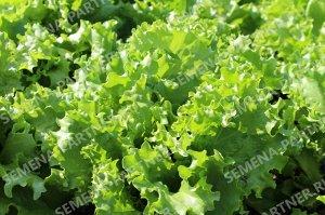Партнер салат листовой геркулес ^ (0,5г)