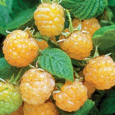 Гортензия, плодовые, декоративные,хвойные саженцы.Предзаказ — Саженцы ягодные.Малина — Плодово-ягодные