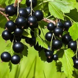 Смородина черная Андега
