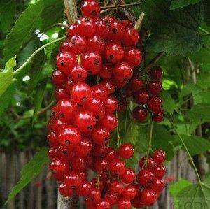 Смородина красная Рот Голландиш