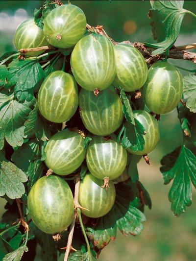 Гортензия, плодовые, декоративные,хвойные саженцы.Предзаказ — Саженцы ягодные.Крыжовник — Плодово-ягодные