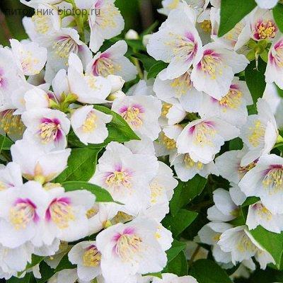Кустарники плод-ягодные и декоративные.Весна не за горами. — Жасмин садовый — Декоративноцветущие