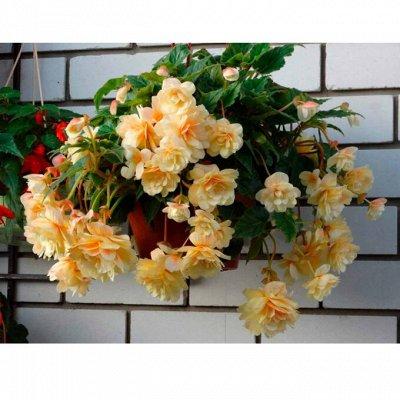 Цветочные луковицы Весна 2021 * Оплата 50/50 — Бегонии садовые  — Декоративноцветущие