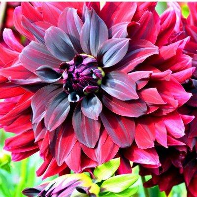 Цветочные луковицы Весна 2021 * Оплата 50/50 — Георгины — Декоративноцветущие