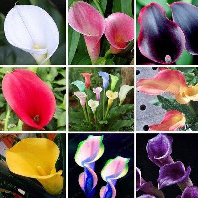 Цветочные луковицы Весна 2021 * Оплата 50/50 — Каллы — Декоративноцветущие