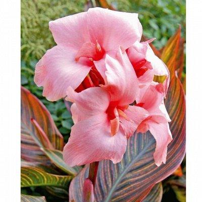 Цветочные луковицы Весна 2021 * Оплата 50/50 — Канны - таинственные цветы — Декоративноцветущие