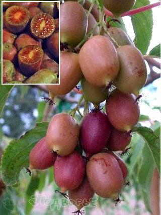 Гортензия, плодовые, декоративные,хвойные саженцы.Предзаказ — Саженцы ягодные.Актинидия — Плодово-ягодные