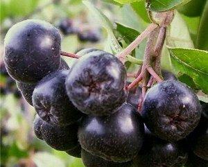 Арония (рябина) черноплодная Викинг
